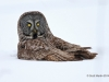 Great Gray Owl 24