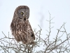 Great Gray Owl 27