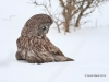 Great Gray Owl 28