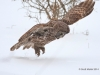 Great Gray Owl 29