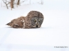 Great Gray Owl 33