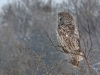 Great Gray Owl 16