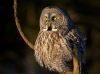 Great Gray Owl 07
