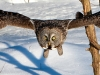 Great Gray Owl 13