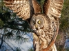 Great Gray Owl 11