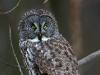 Great Gray Owl 01