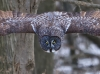 Great Gray Owl 03