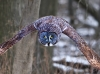 Great Gray Owl 04
