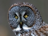 Great Gray Owl 05