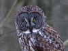 Great Gray Owl 06