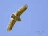 Great Horned Owlet 02