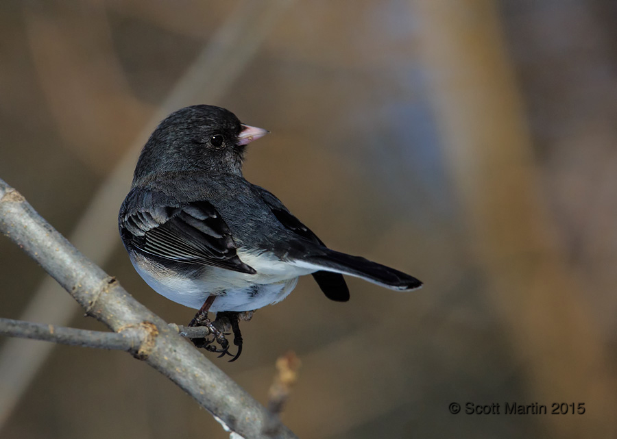 Dark Eyed Junco 07