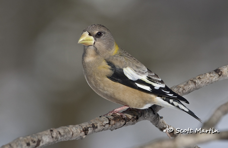 Grosbeak, Evening 05
