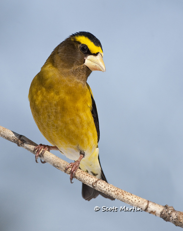 Grosbeak, Evening 08