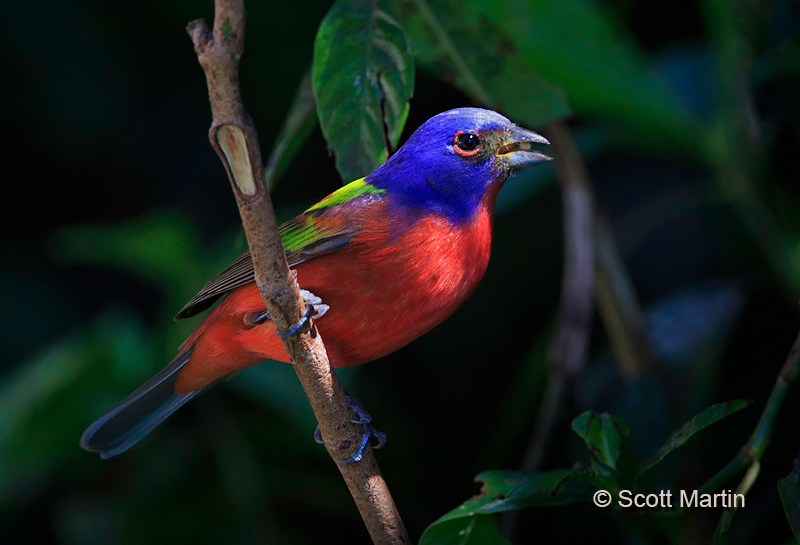 Painted Bunting 01
