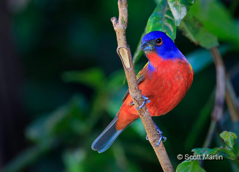 Painted Bunting 02