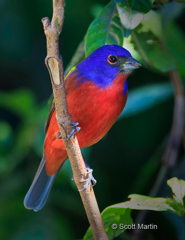 Painted Bunting 03