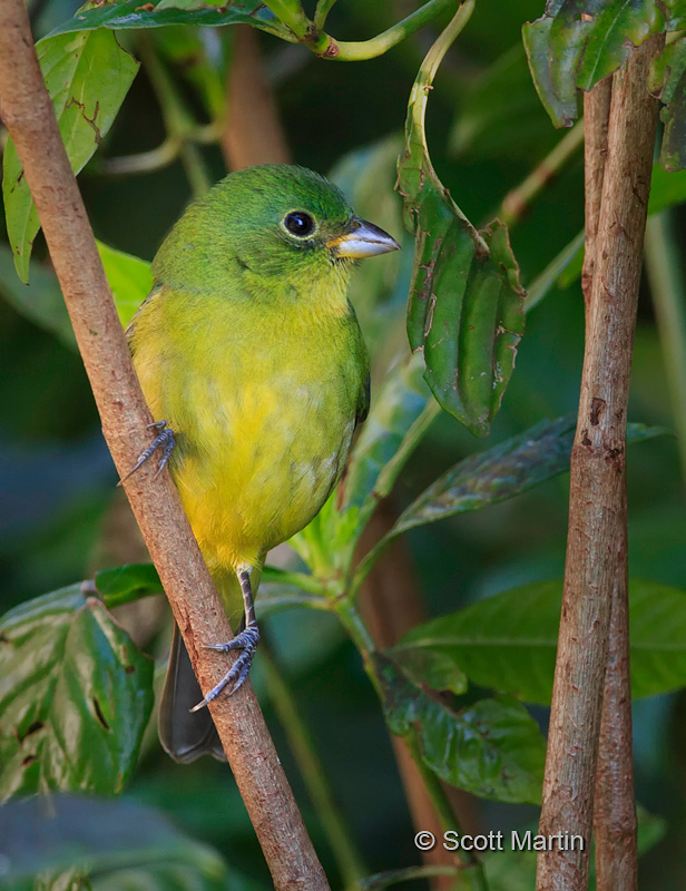Painted Bunting 06