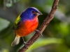Painted Bunting 07