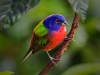 Painted Bunting 08