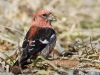 White Winged Crossbill 04