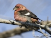 White Winged Crossbill 05