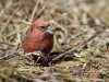 White Winged Crossbill 06
