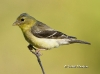 American Gold Finch 01