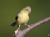 American Gold Finch 02