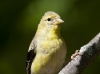 American Gold Finch 03
