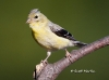 American Gold Finch 04