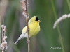 American Gold Finch 05