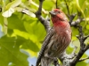 House Finch 03