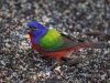 Painted Bunting 04