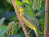 Painted Bunting 05
