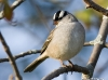 White Crowned Sparrow 01