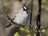 White Crowned Sparrow 02