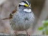 White Throated Sparrow 07