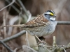 White Throated Sparrow 08