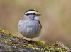 White Throated Sparrow 01
