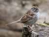 White Throated Sparrow 03