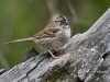 White Throated Sparrow 04