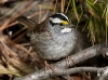 White Throated Sparrow 05
