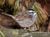 White Throated Sparrow 06