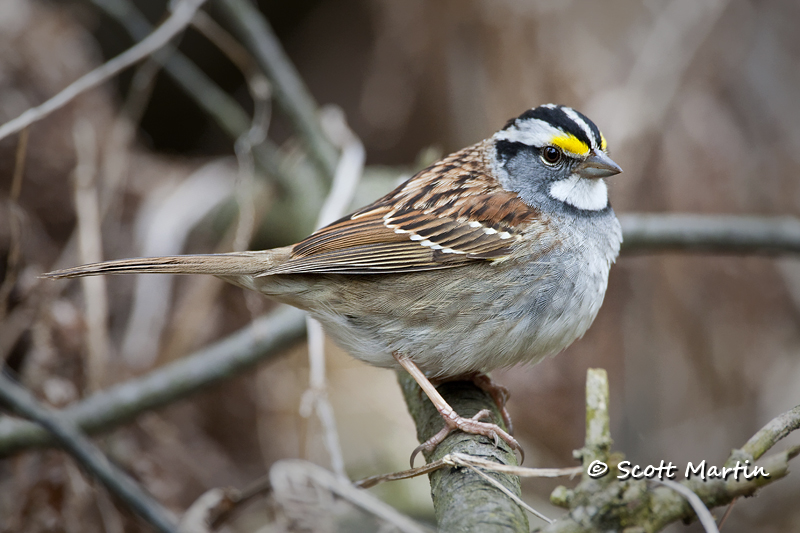 white-throated-sparrow-08
