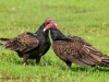 Turkey Vulture 11