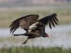 Turkey Vulture 03