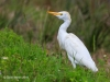 Cattle Egret 05