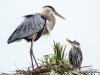 Great Blue Heron 38