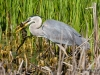 Great Blue Heron 42